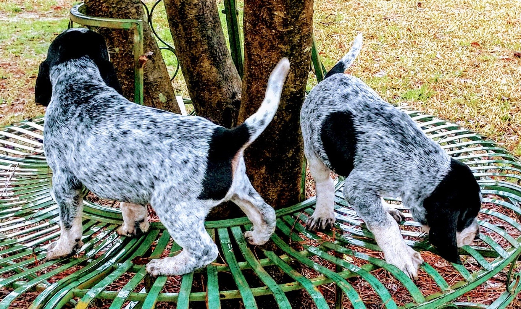 Bluetick Smokey River Hounds